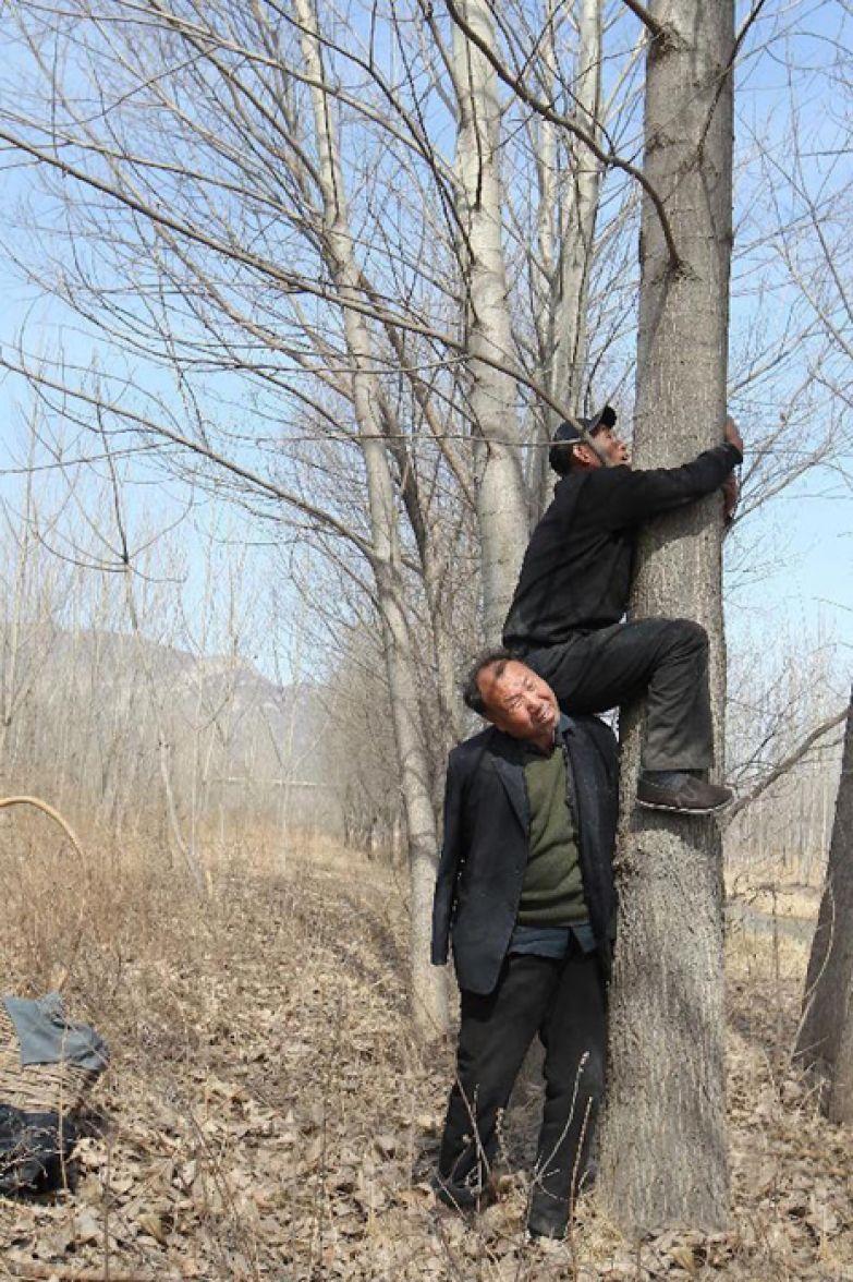 Венчи карабкается на дерево за новыми черенками.