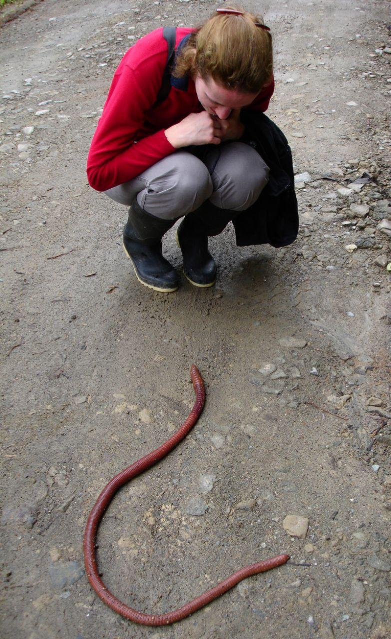 Австралийский гигантский дождевой червь. Некоторые из них могут вырастать длиной до 3 метров без фотошопа, природа, удивительные фото, человек