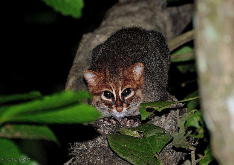 15. Суматранская кошка животные, коты, породы