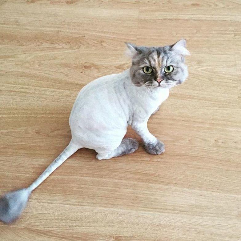 10. животные, котт, кошка, прическа, стрижка