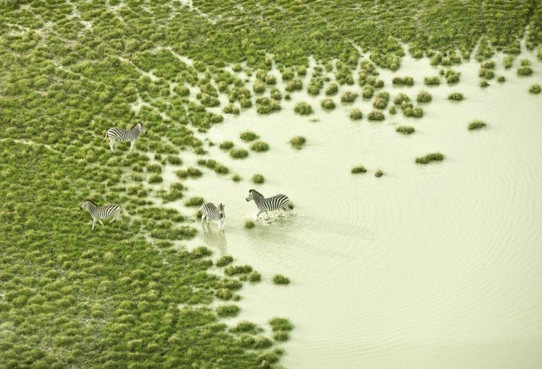 Зак Секлер. Зебры на водопое.