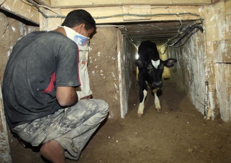 В Турции телят доставляют под землёй контрабанда, прикол, смешно, фотографии