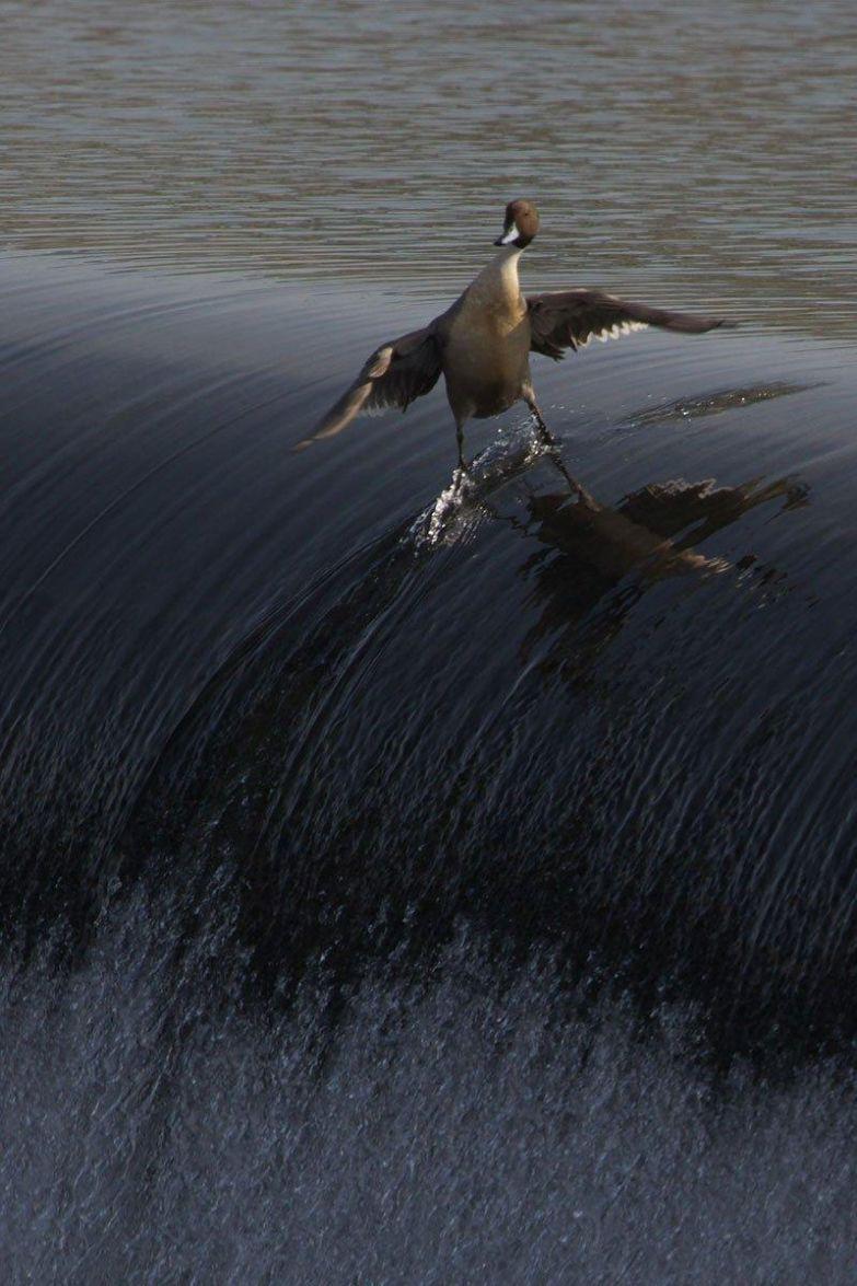 Самая крутая утка в мире