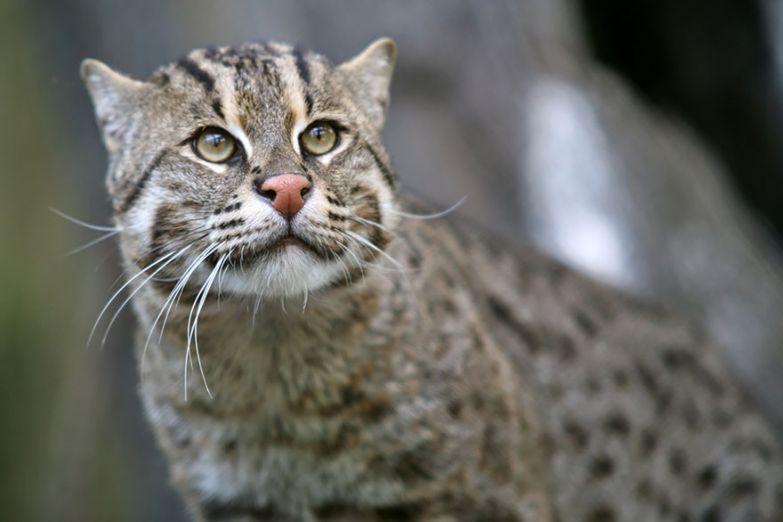 10. Виверровая кошка или кошка-рыболов животные, коты, породы