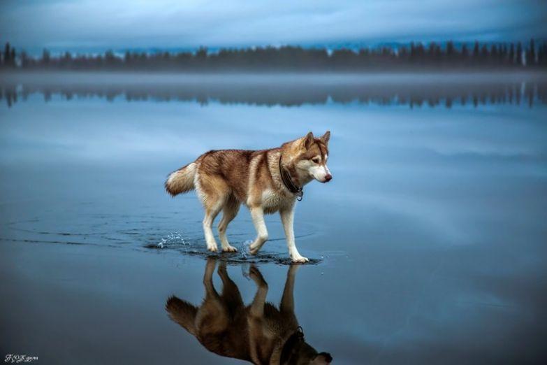 Хаски идущий по воде без фотошопа, природа, удивительные фото, человек