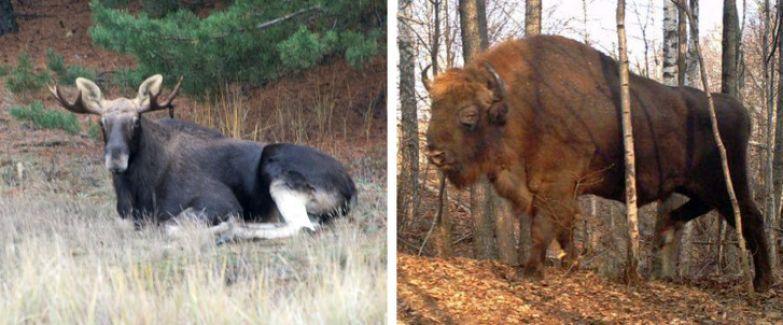 Посмотрите, какие звери живут в зоне отчуждения Чернобыля. Кажется, природа почти залечила раны, которые ей нанес человек