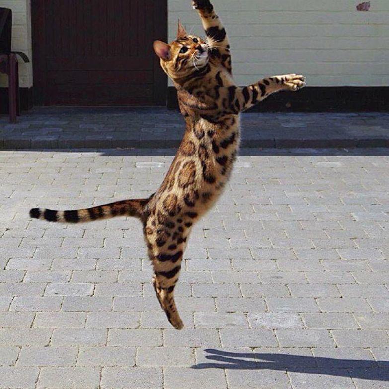 """""""Тор очень активный и дружелюбный кот"""" бенгал, животные, кот"""