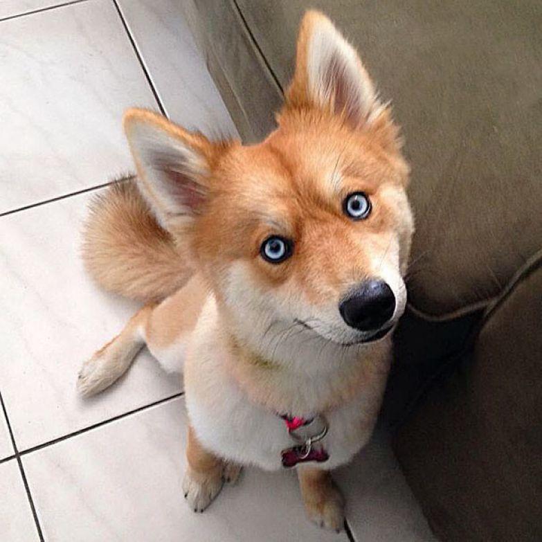 Недавно фотография Майи появилась на сайте Reddit Помски, животные, хаски, шпиц