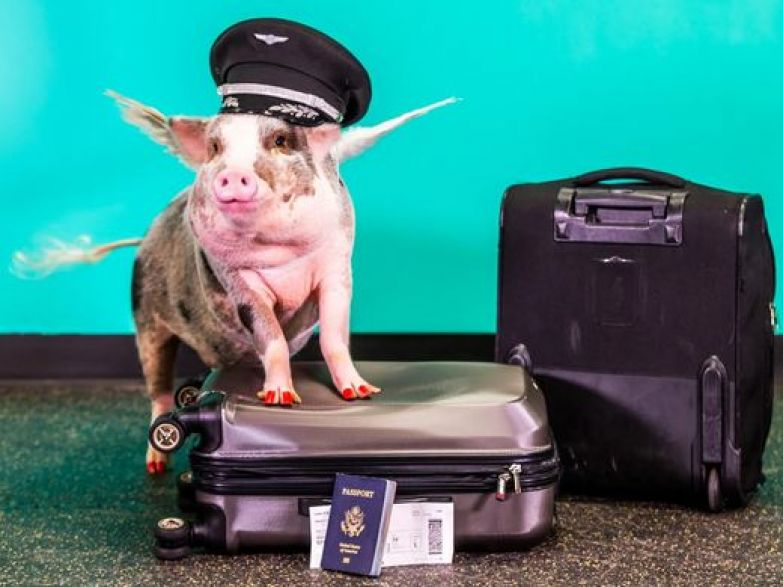 В Международном аэропорту Сан-Франциско поросенок будет встречать пассажиров - фото 2