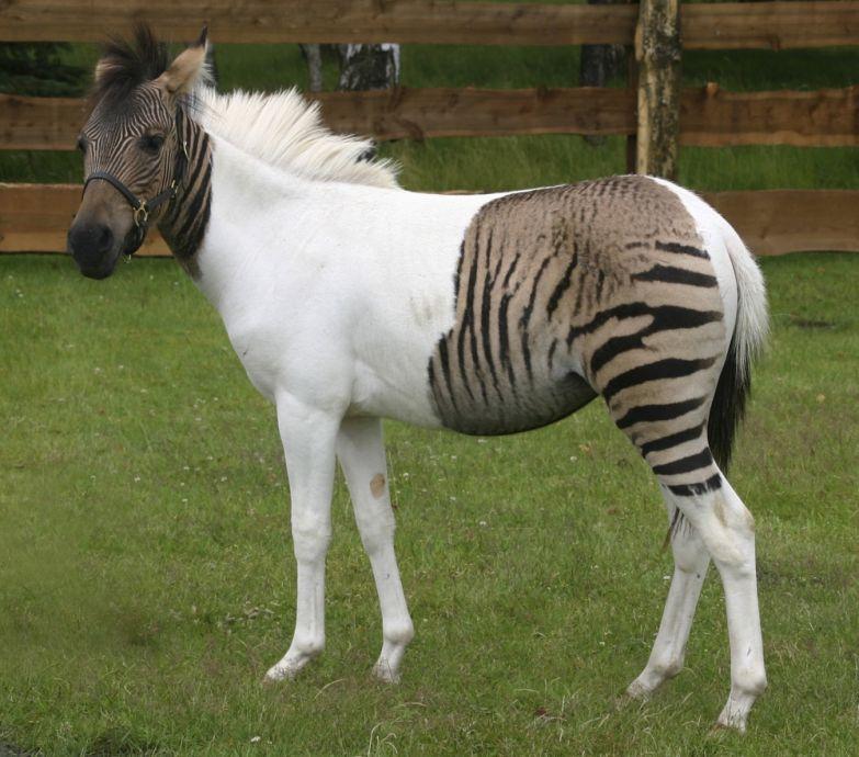Зеброид (гибрид зебры и лошади) по имени Эклайз (Eclyse).