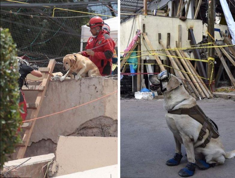 Фрида - настоящий герой. Эта собака спасла жизнь более 50 человек при землетрясении в Мексике