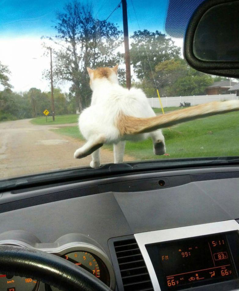21. И на ветровом стекле животные, коты