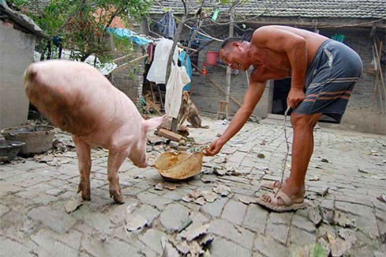 Свинка без задних ног