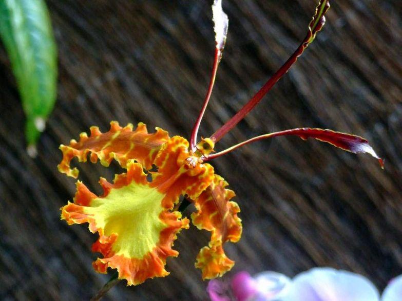 Орхидея 5