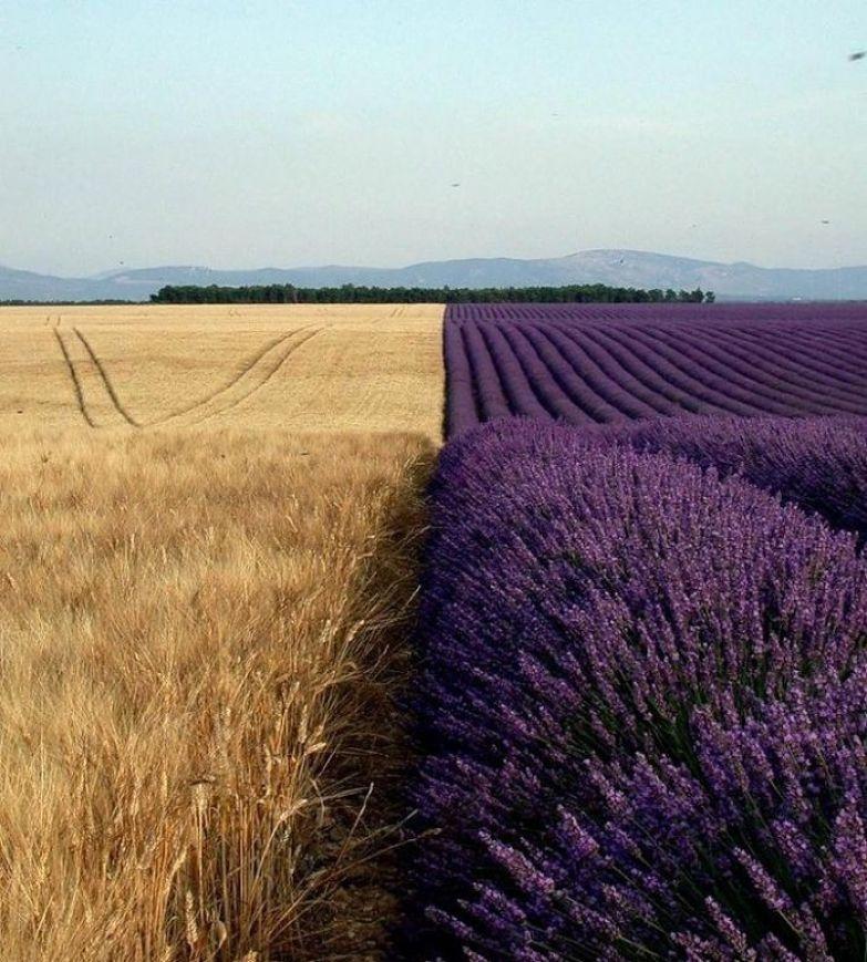 Пшеница и лаванда искусство, мастерство, фото