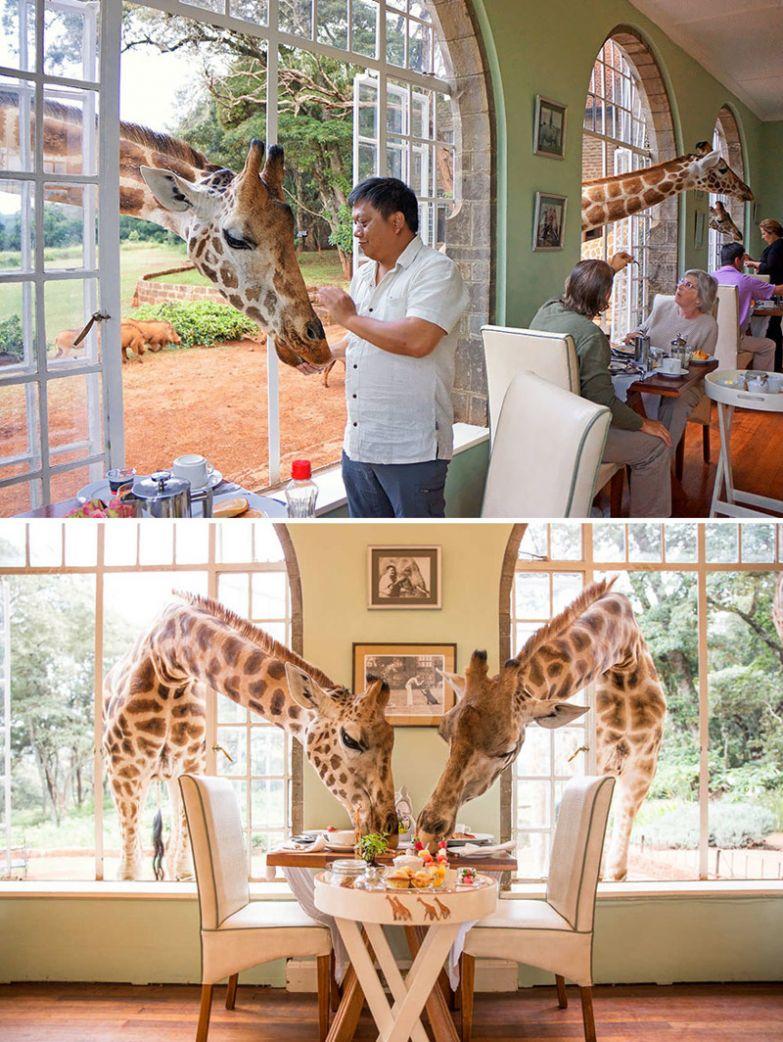 Завтрак с жирафами, Giraffe Manor, Найроби, Кения мир, подборка, ресторан