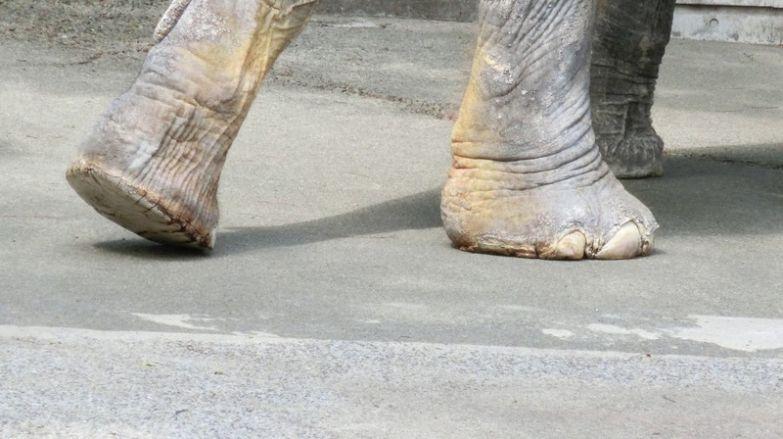 Самая печальная слониха в мире умерла после 60 лет, проведенных в клетке Ханако, животные, зоопарк, слон, япония