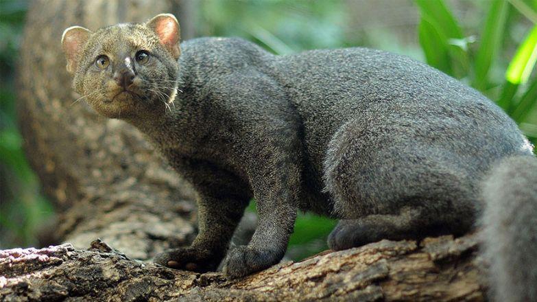 9. Ягуарунди животные, коты, породы