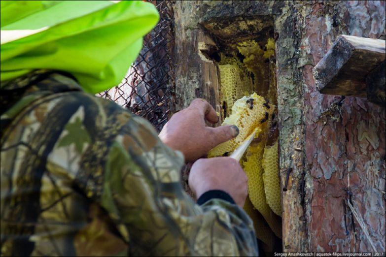 Как добывают мёд методом Винни-Пуха мёд, Башкортостан, бортевик, дикий мёд, Сергей Анашкевич, не мое, длиннопост