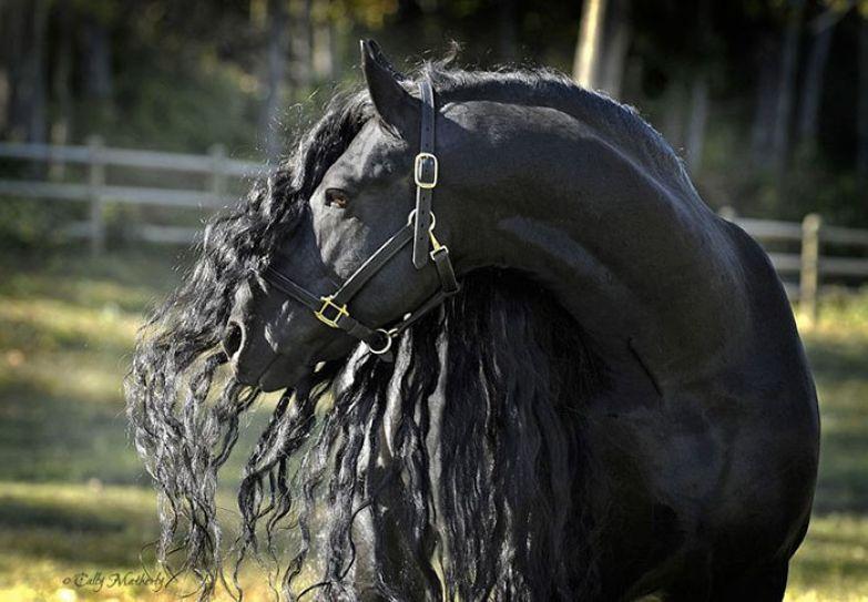 В основном, фризских лошадей сегодня используют для фотосессий.