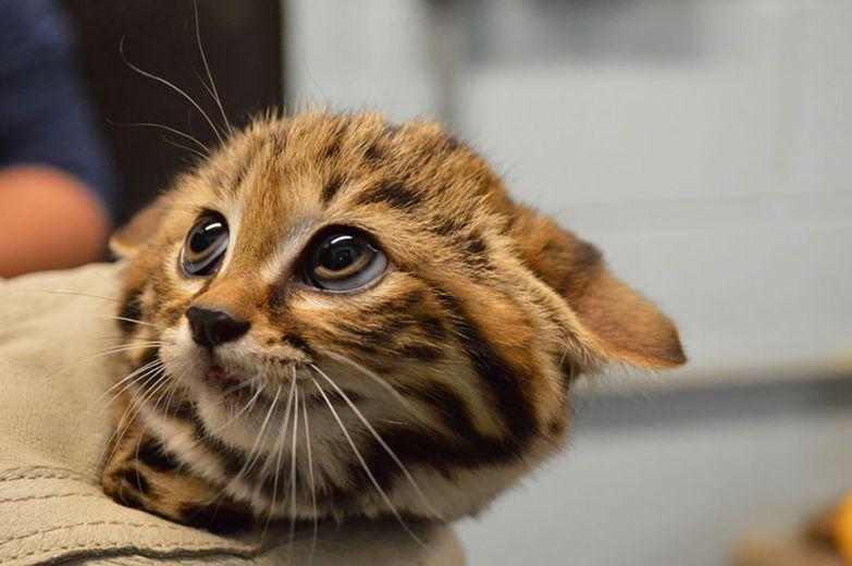 4. Черноногая кошка животные, коты, породы