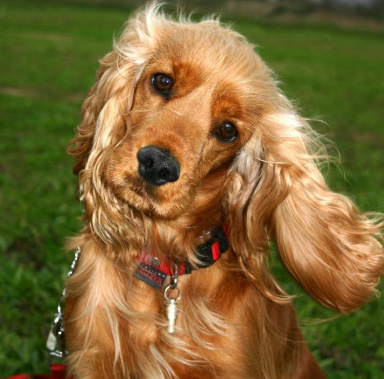 11 популярных пород собак, которые люди безответственно покупают, а потом возвращают из-за неудобств