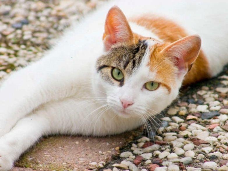 """Результат пошуку зображень за запитом """"Трехцветная кошка"""""""